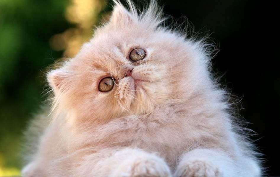 El Cuidado De Gatos Persas Es Uno De Los Más Fáciles