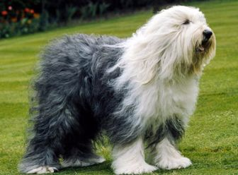 Antiguo Perro Pastor Ingles Amigable