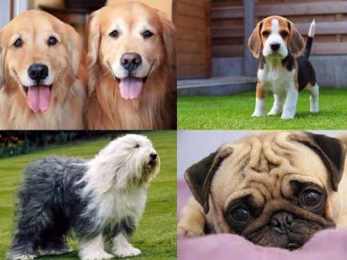 Razas de Perros más Dóciles del Mundo