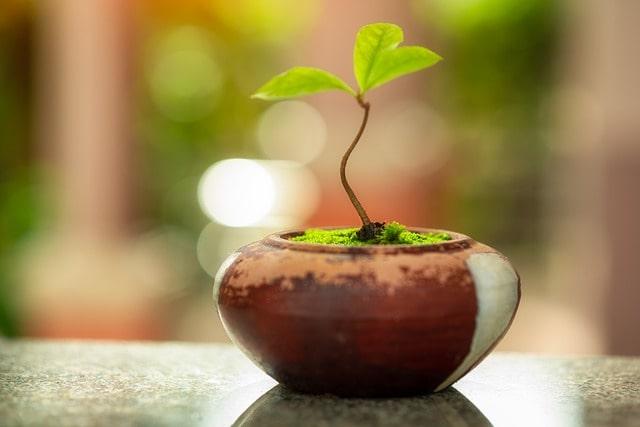 los bonsáis no son plantas genéticamente enanas