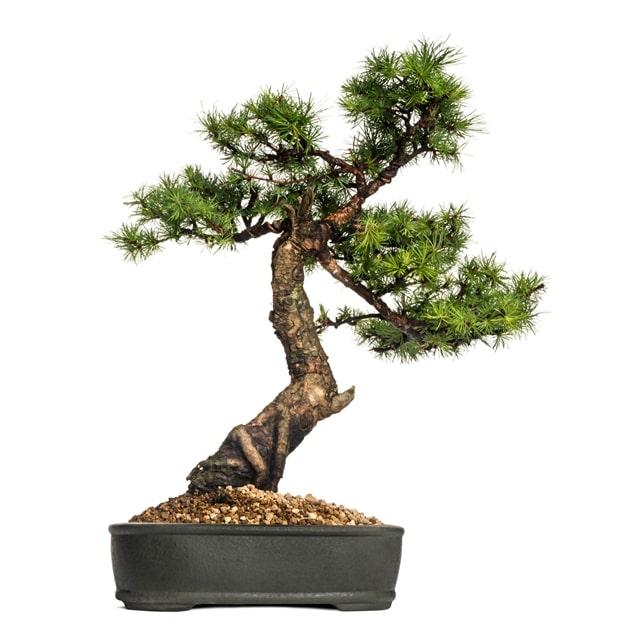 qué tipo de bonsái tengo